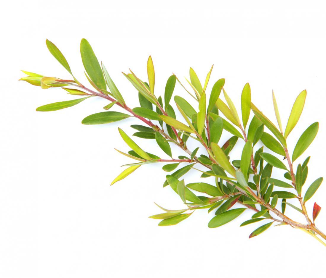 [Olio di tea tree]