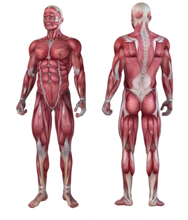[Illustration de l'anatomie musculaire]