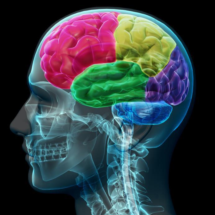 Gehirnlappen Diagramm