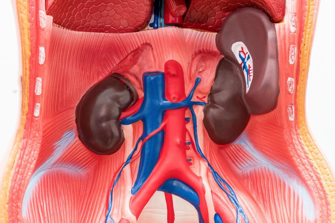 Mô hình cho thấy vị trí của lá lách ở bụng