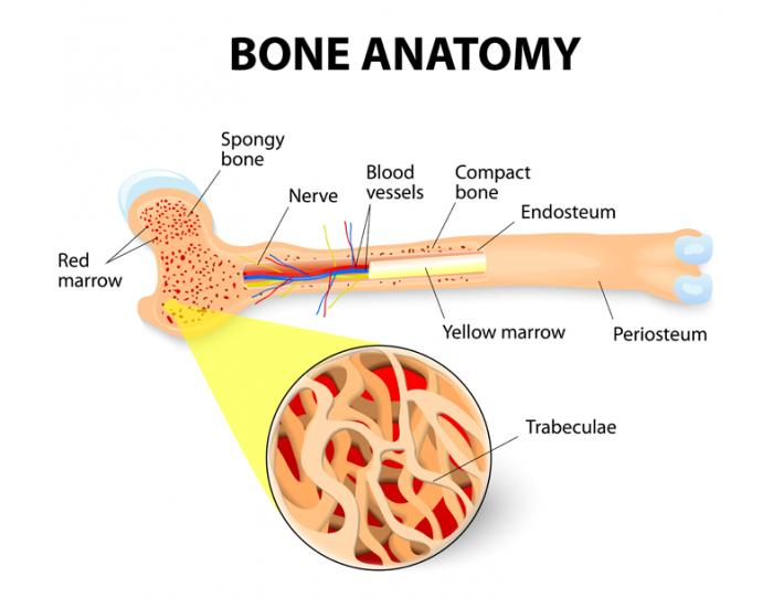 giải phẫu xương