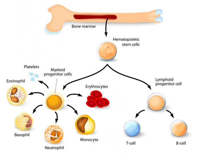 tủy xương với tế bào gốc