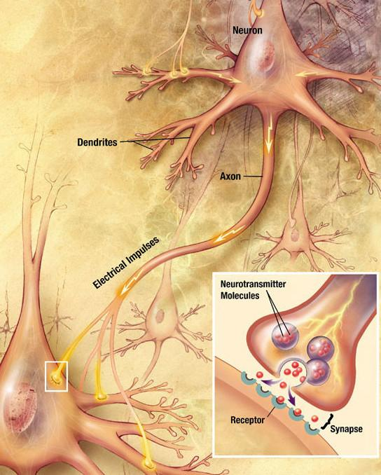 Synapse diagramme image crédit US National Institutes of Health