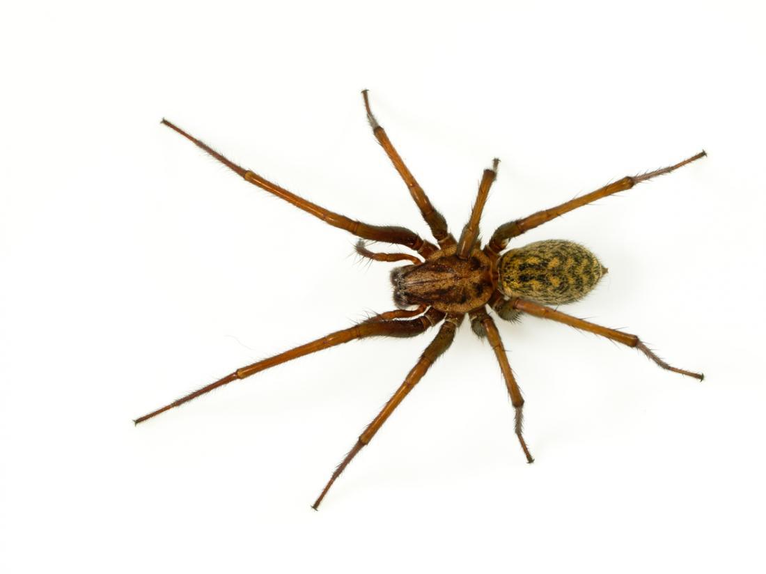 Hobo araignée