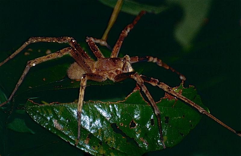 Crédit d'araignée errante brésilienne: Bernard Dupont