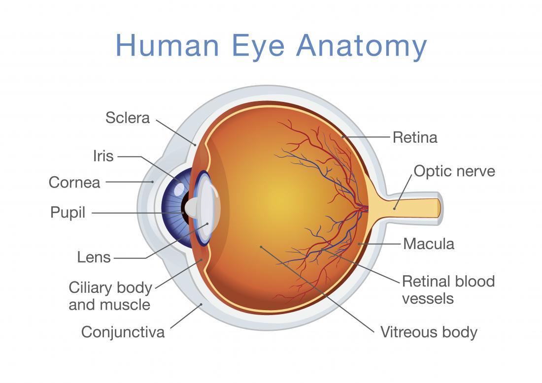 Diagramme d'anatomie oculaire