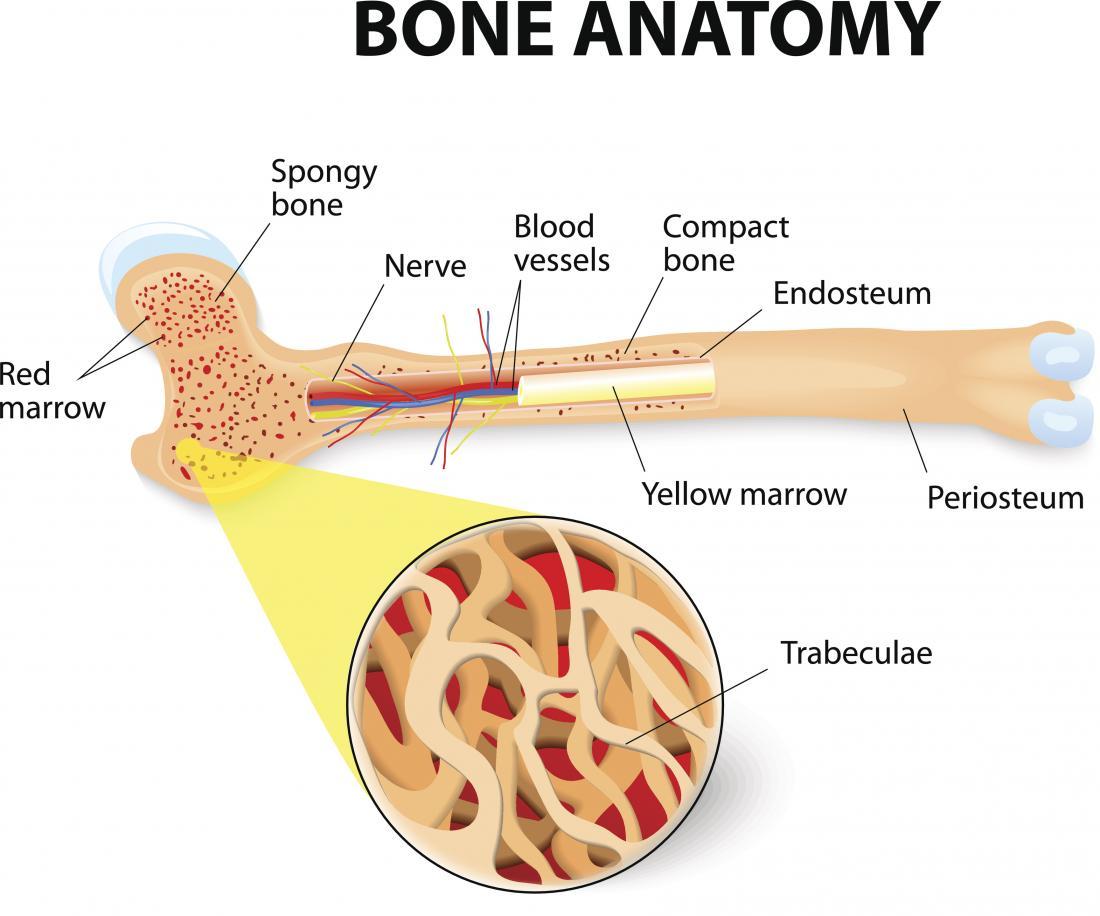 Anatomia óssea