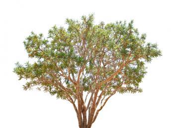 [cây boswellia trầm hương]