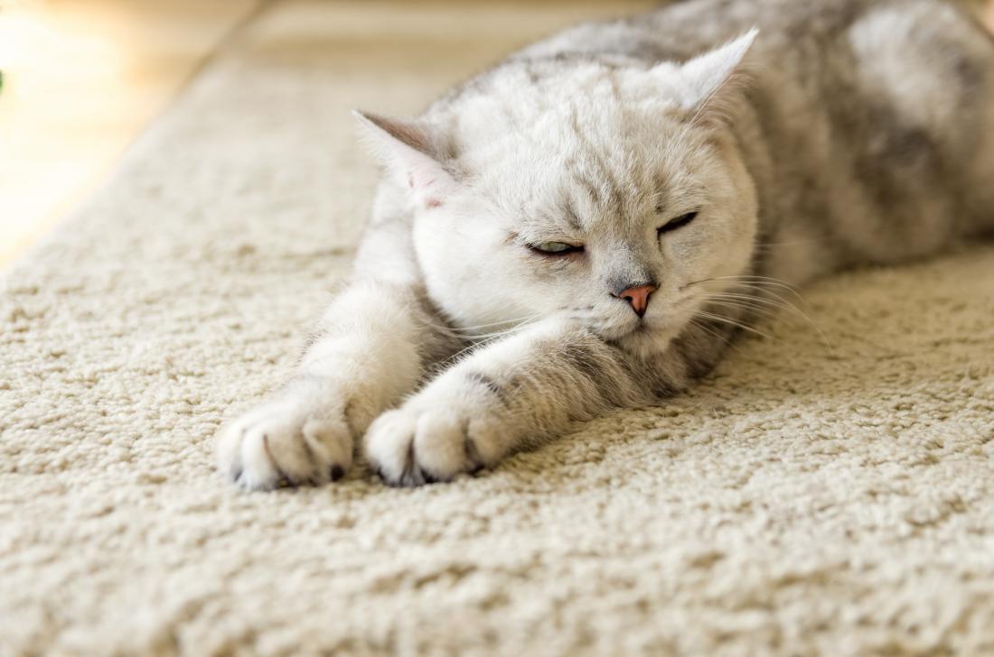 gato em um tapete que pode causar alergias a gatos