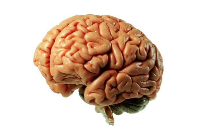 [Човешки мозък]