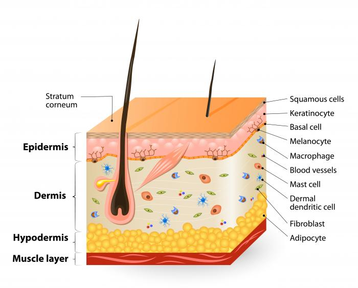 Диаграма на слоевете на кожата.