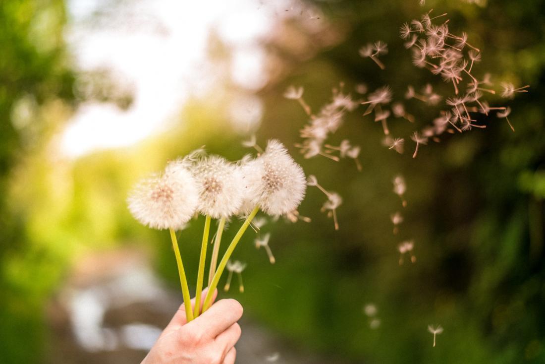 karahindiba poleni