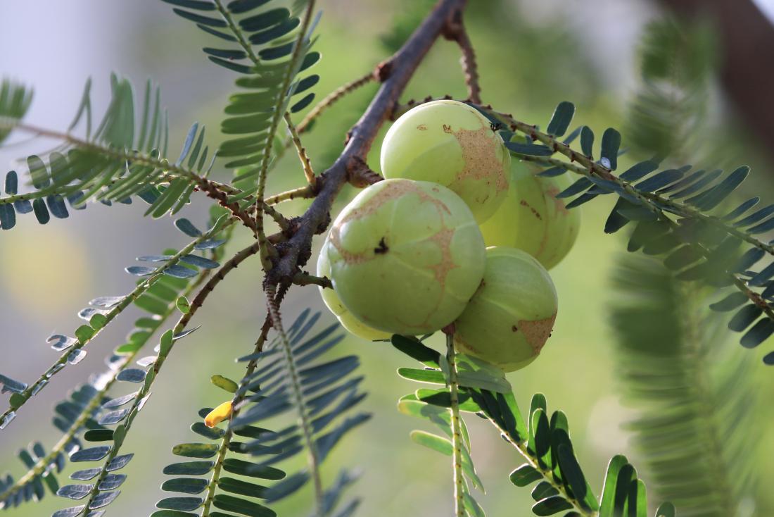アムラ油は、アマの果実から作られる