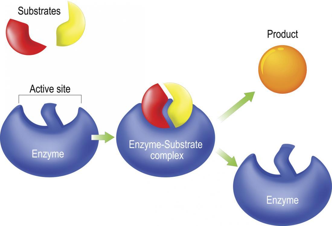 Enzymschloss und Schlüsselmodell