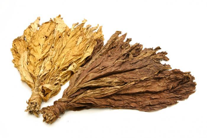 Feuilles de tabac contenant de la nicotine