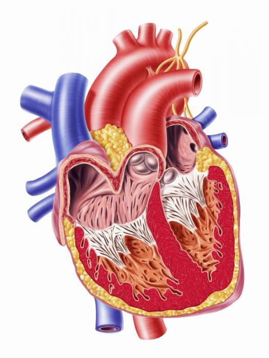 [Kalp anatomisi bölümü]