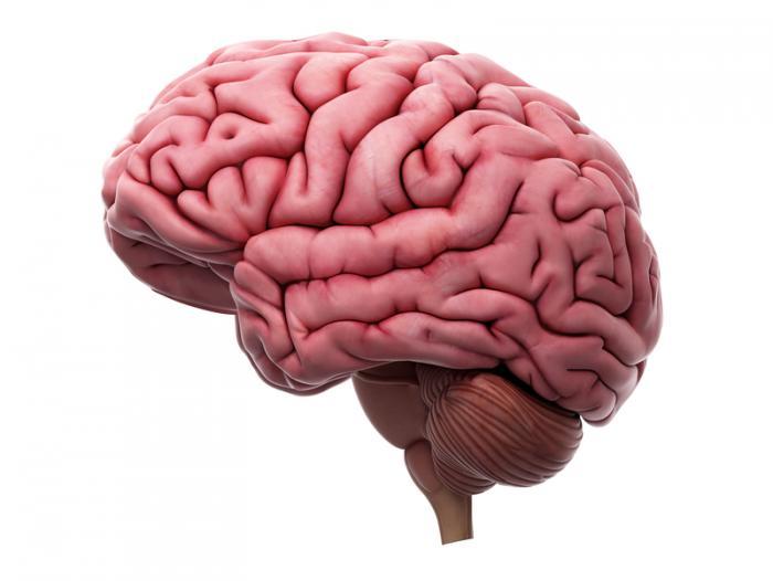 [人間の脳]
