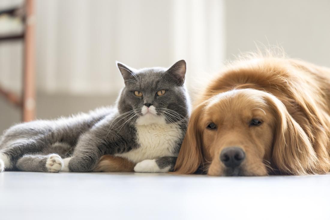 Les chats et les chiens peuvent produire des squames