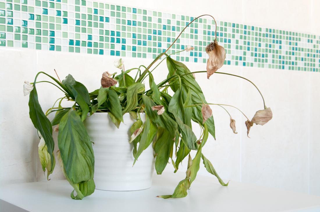 Une fuite de gaz peut entraîner la mort des plantes d'intérieur.