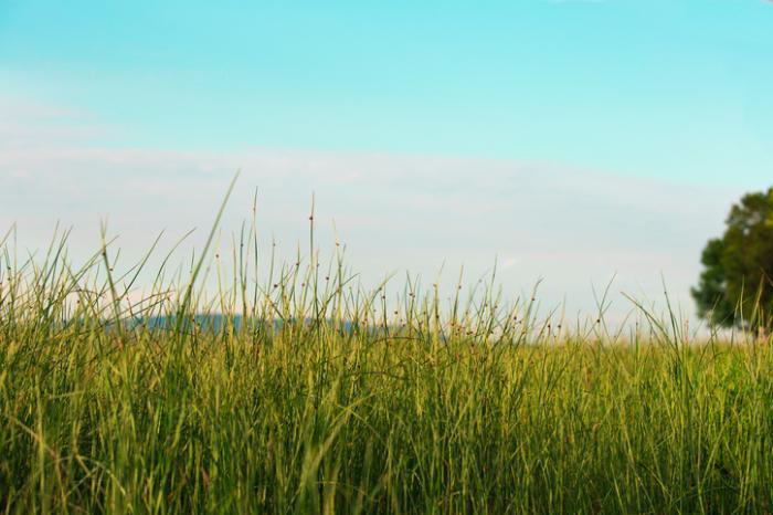 cỏ dài