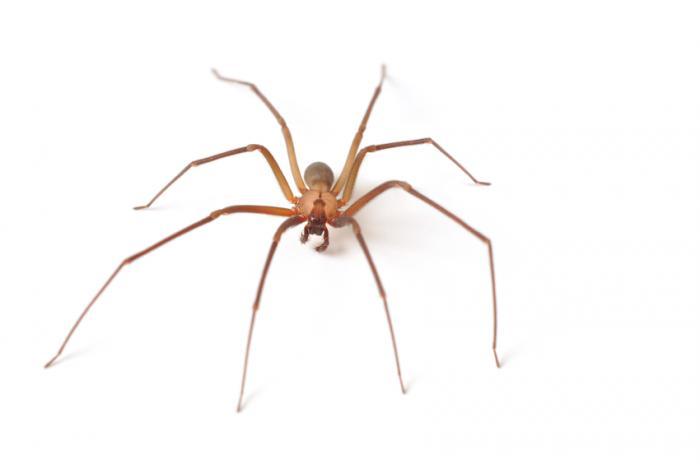 [ragno recluso marrone]