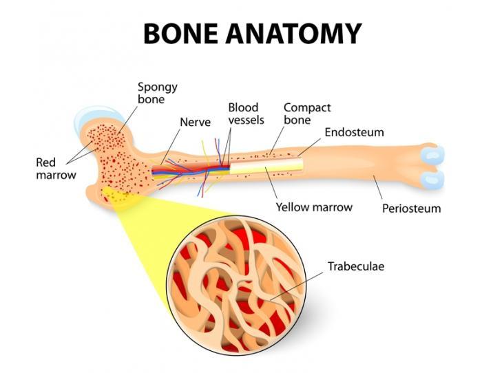 [struttura ossea]