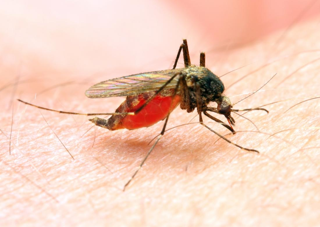 La malaria è trasmessa dalla zanzara Anopheles.