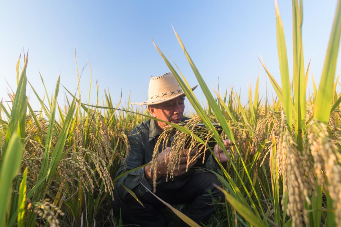 nông dân trồng lúa