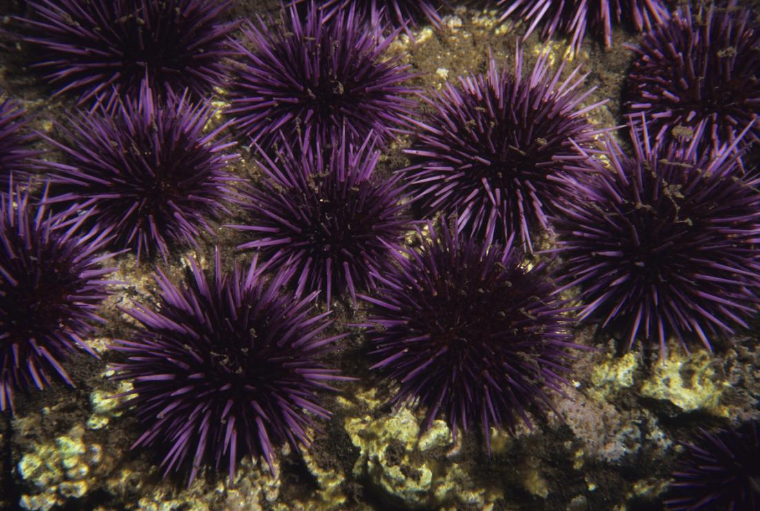 Một số loài nhím biển nguy hiểm hơn những loài khác.