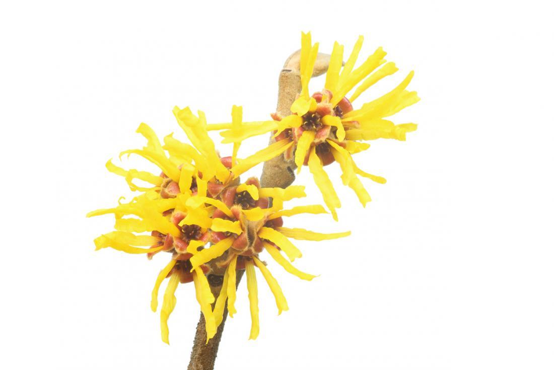 Zaubernuss Pflanze und Blume.