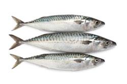 Makrelenfische