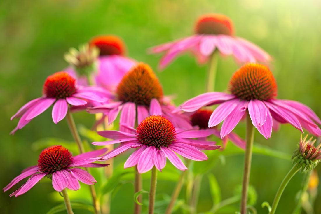 Flores de Echinacea