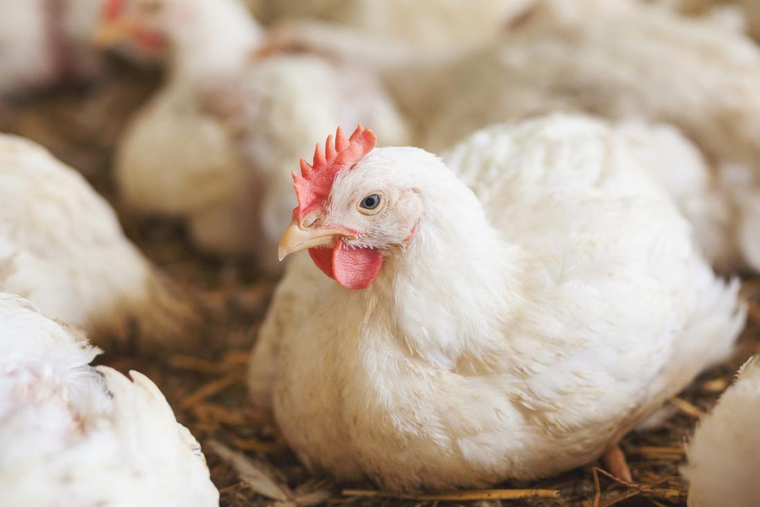 Huhn im Hühnerstall, der Zoonose verbreiten kann.