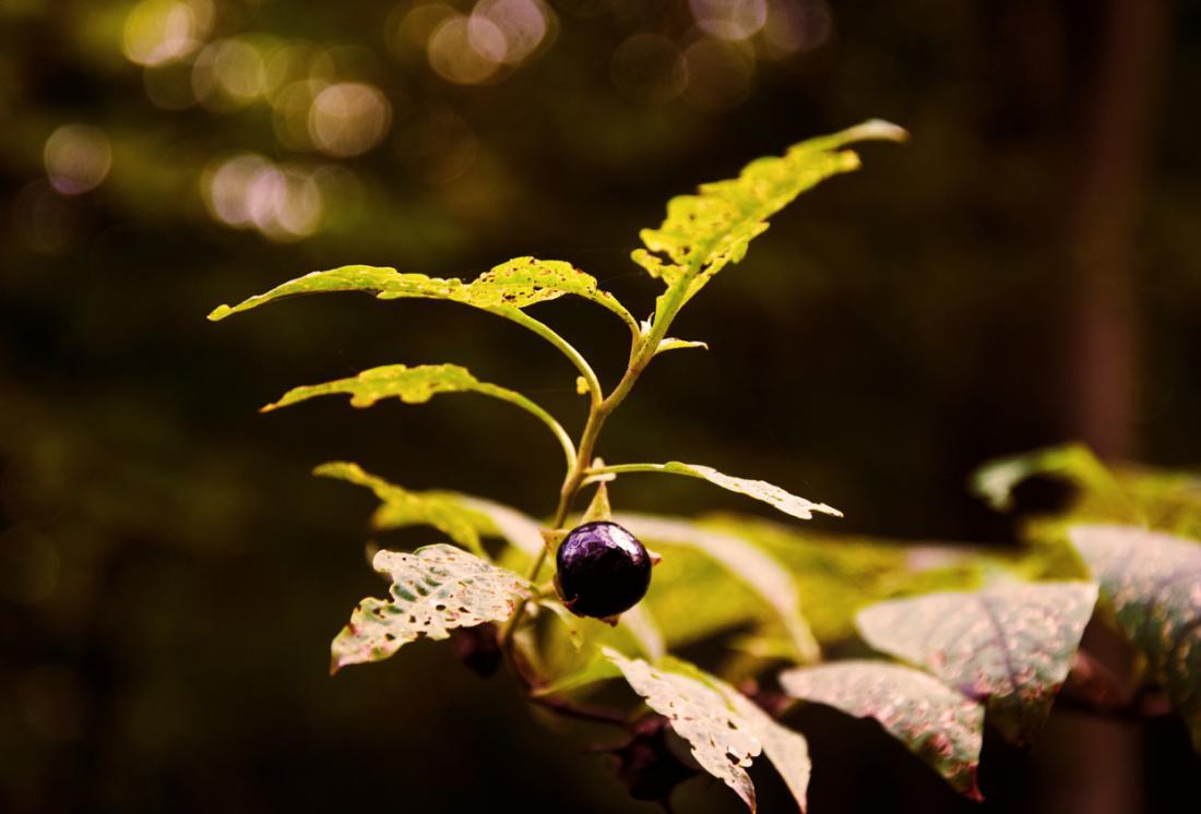 Belladonna Pflanze