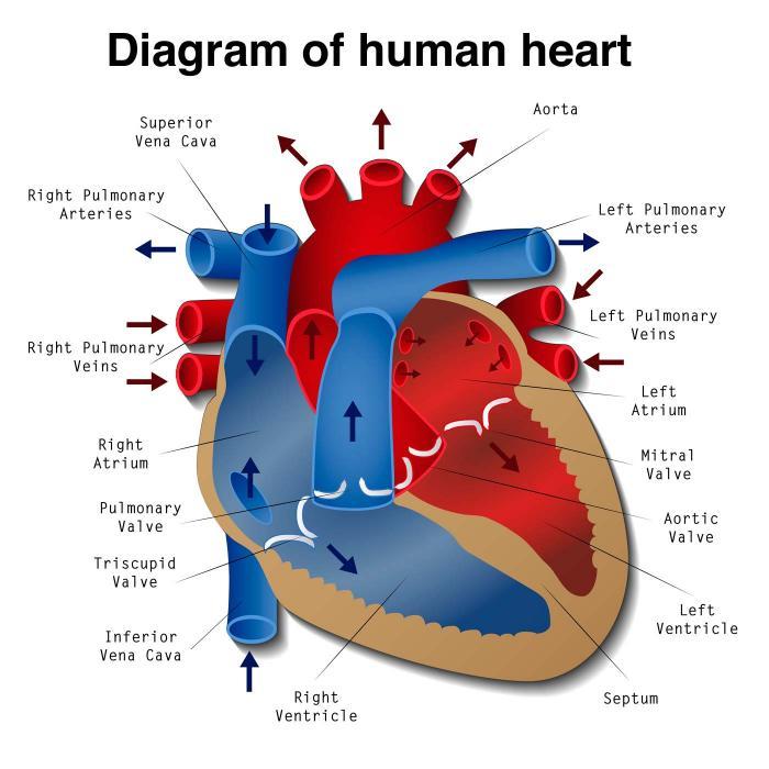 [diagrama do coração]