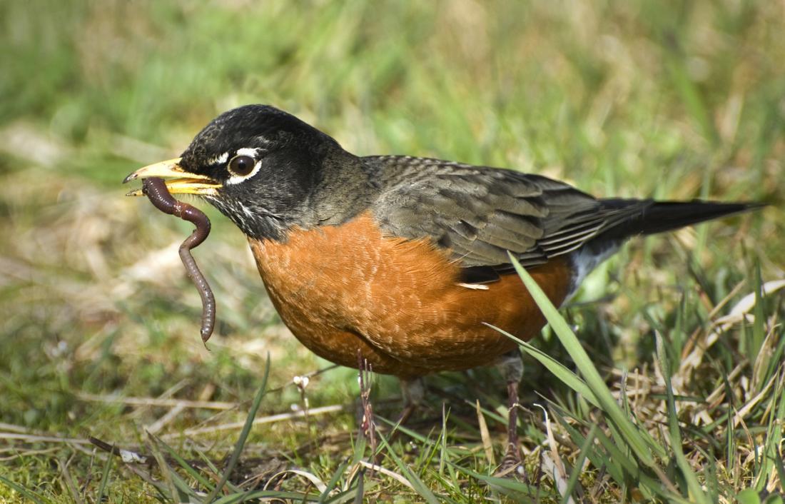Das amerikanische Robin ist einer der Hauptschuldigen für die Anwesenheit von WNV in den USA.
