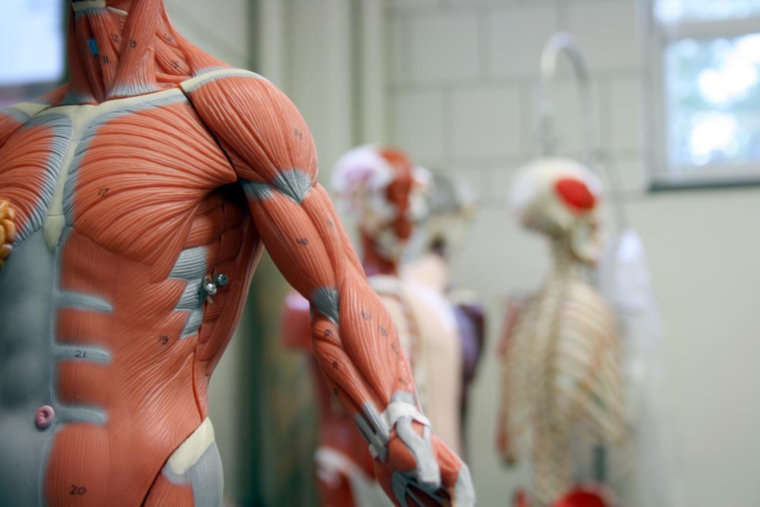 Modelo do sistema muscular no primeiro plano com outros modelos humanos da anatomia no fundo.