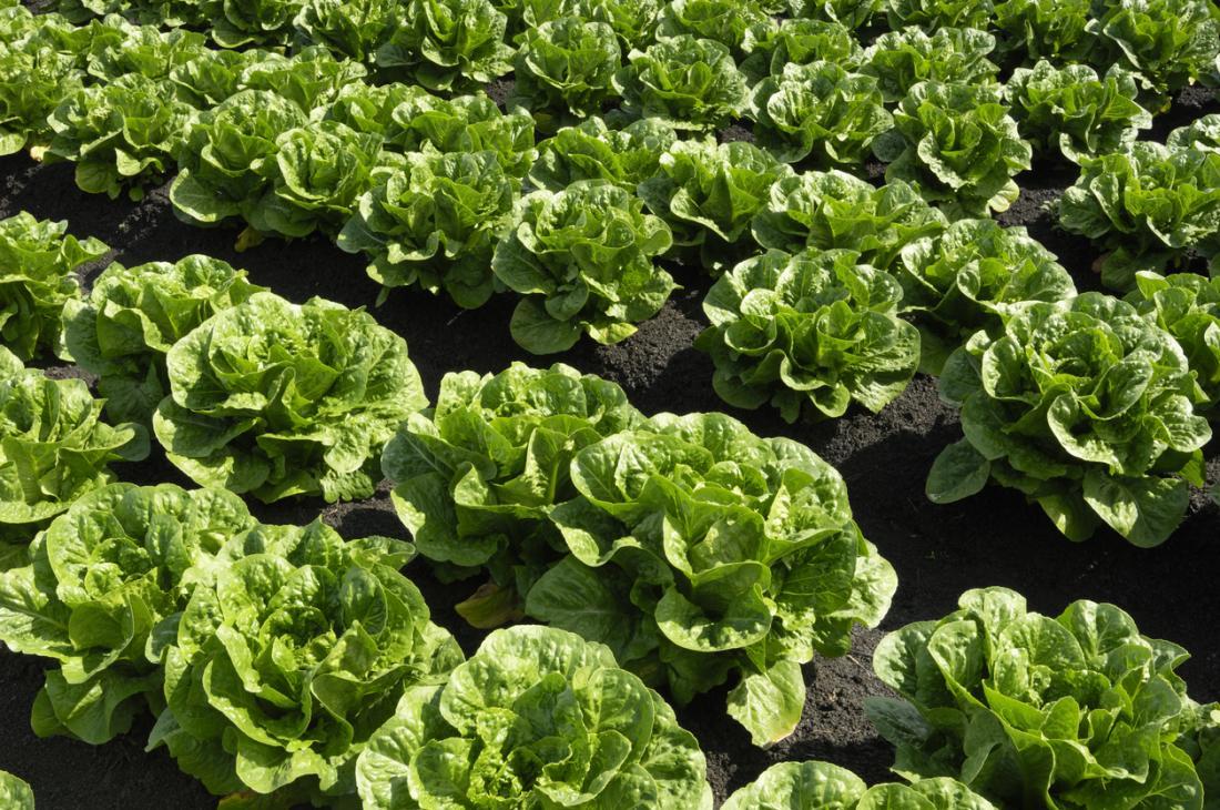 Römersalat, der im Boden in den Feldern auf einem Bauernhof wächst.