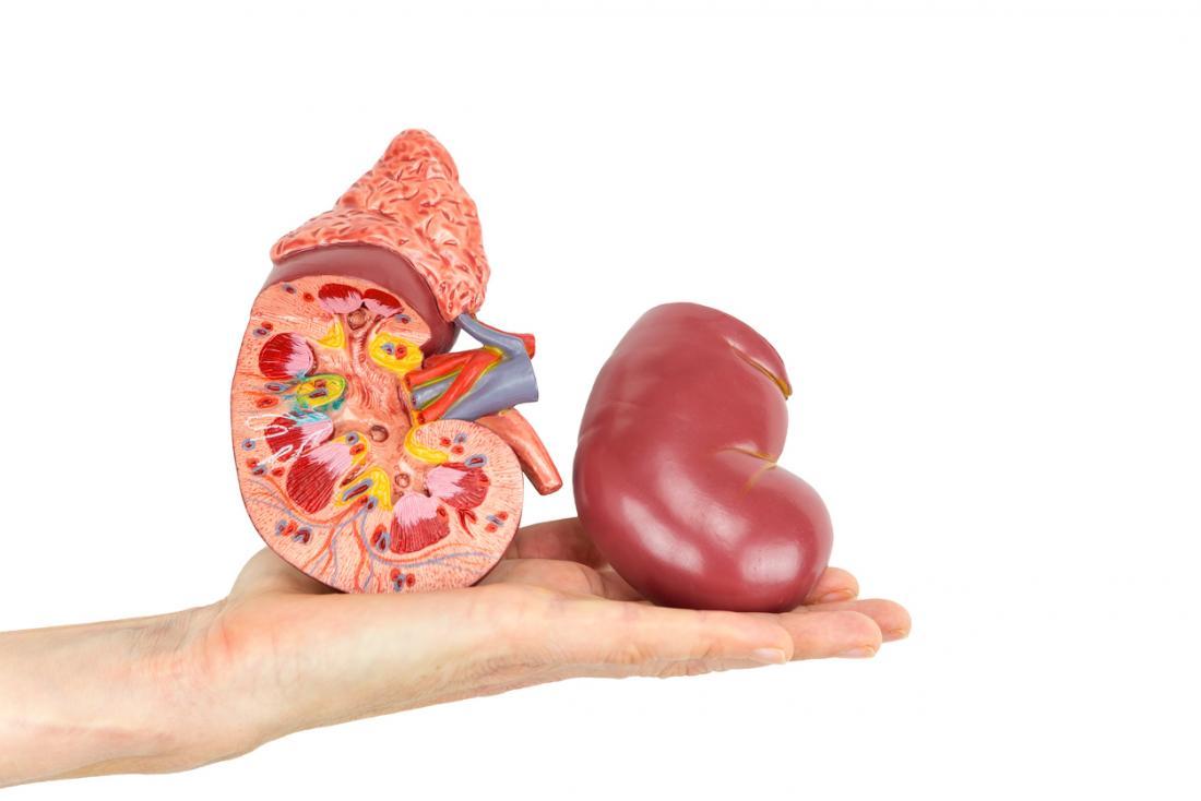 secção transversal dos rins