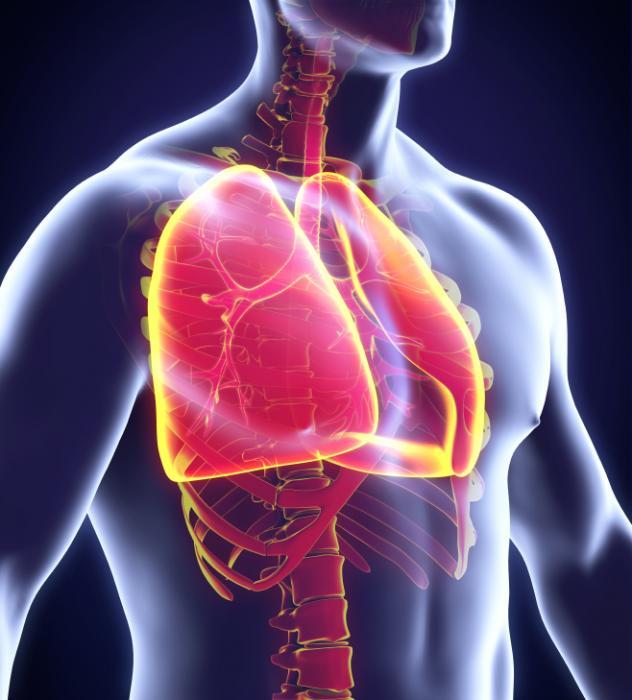[Diagramme humain des poumons]