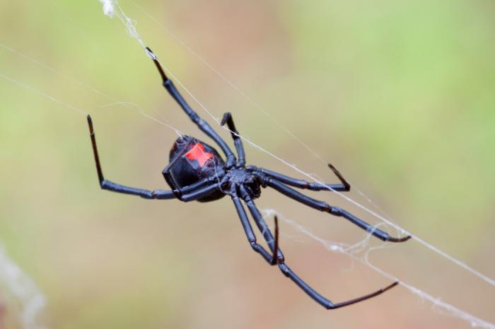 Schwarze Witwe Spinne macht ein Netz