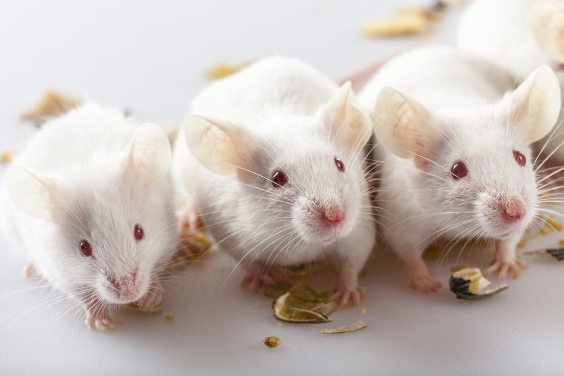 ratos de laboratório