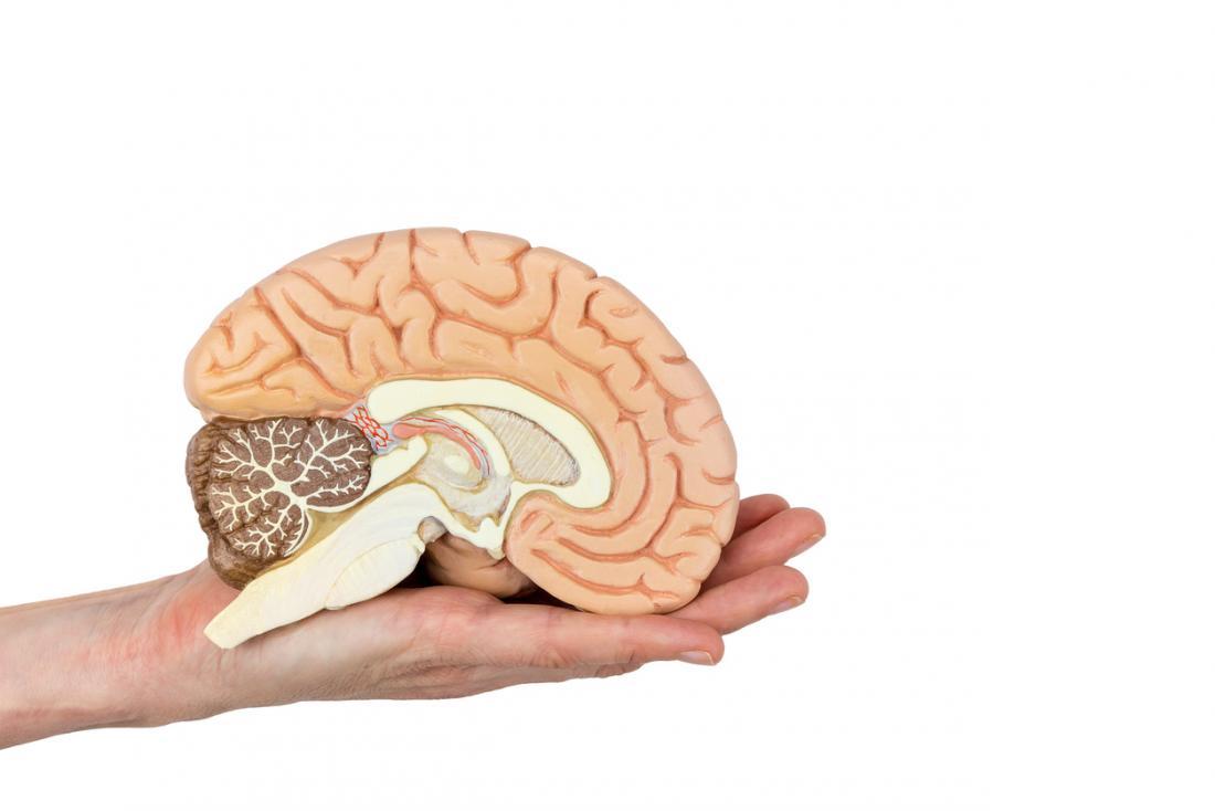 人の手のひらに保持された半分の脳のモデル。