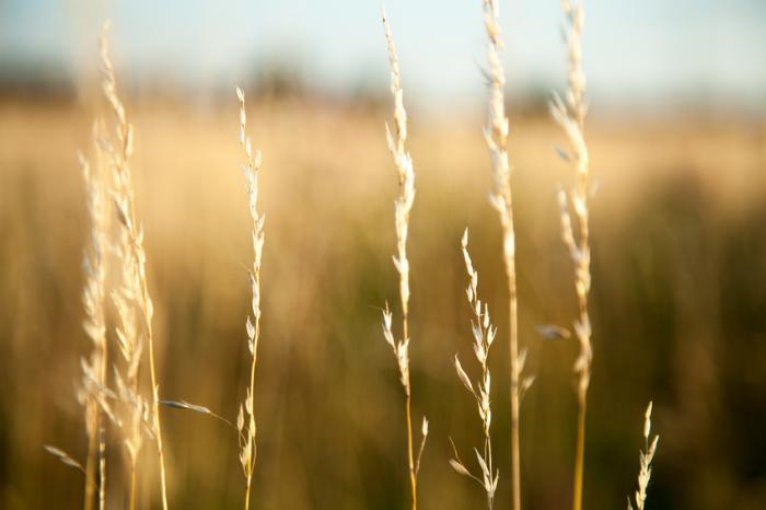 [поле пшеница]
