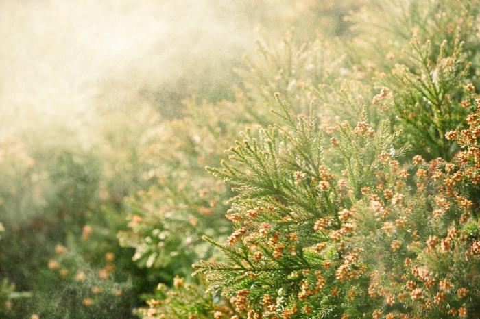 Pólen causando alergias sazonais