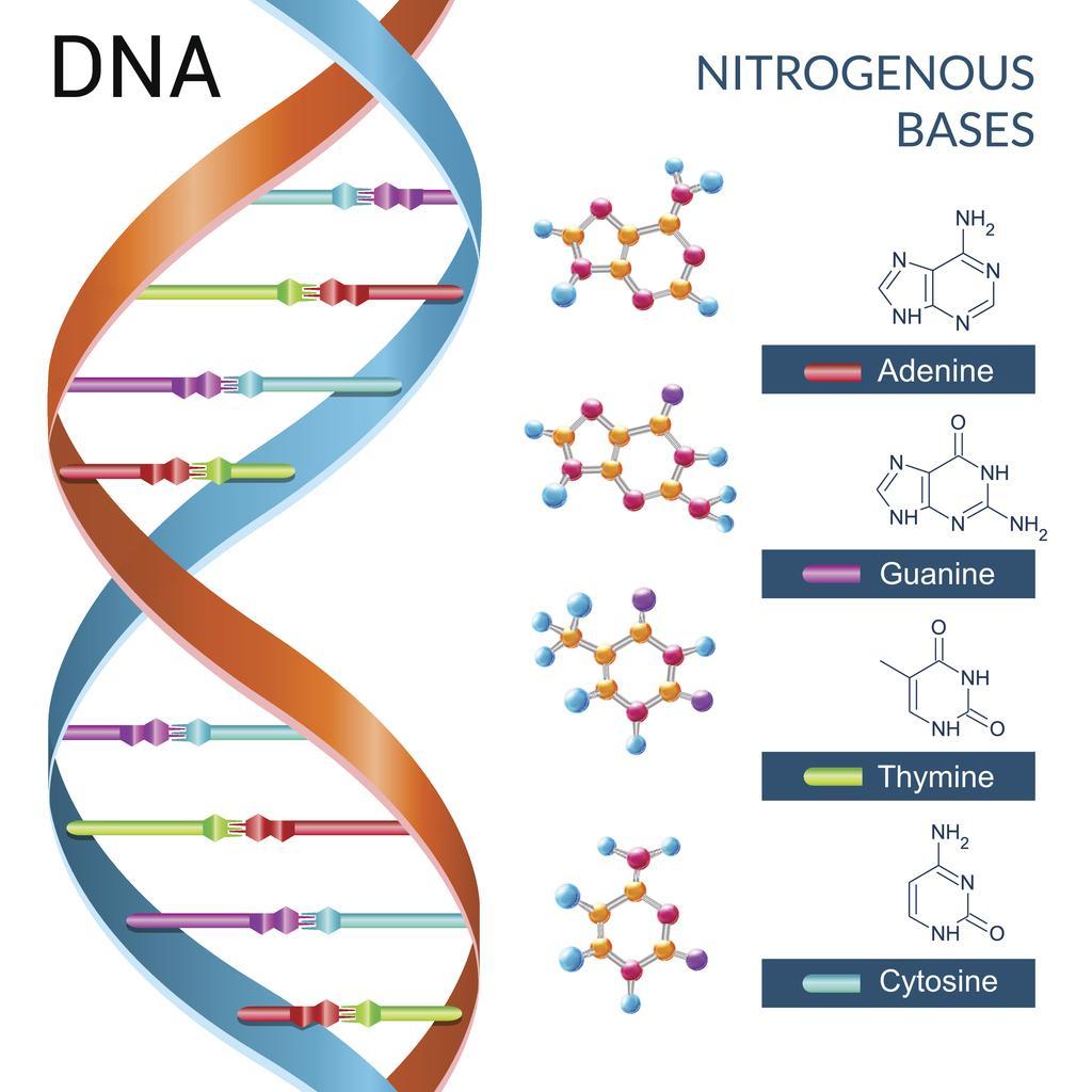 DNA basi azotate