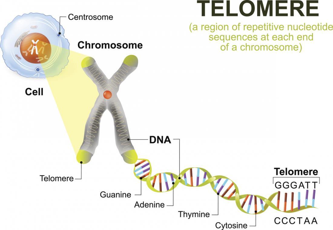 Diagramma di DNA telomero