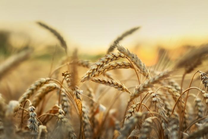[champ de blé]