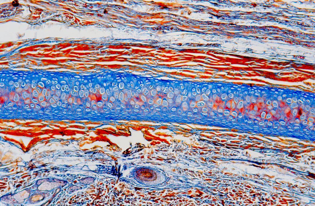 Le cartilage est un tissu qui amortit les os.