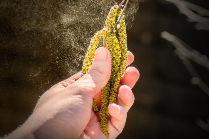 [main tenant le pollen émettant du bouleau]